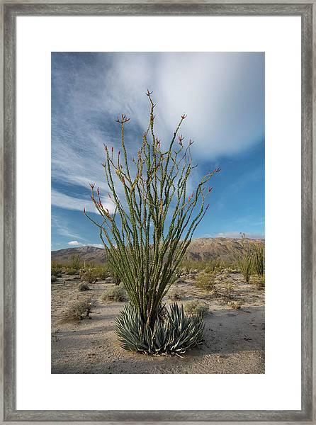 Usa, California Blooming Ocotillo Framed Print