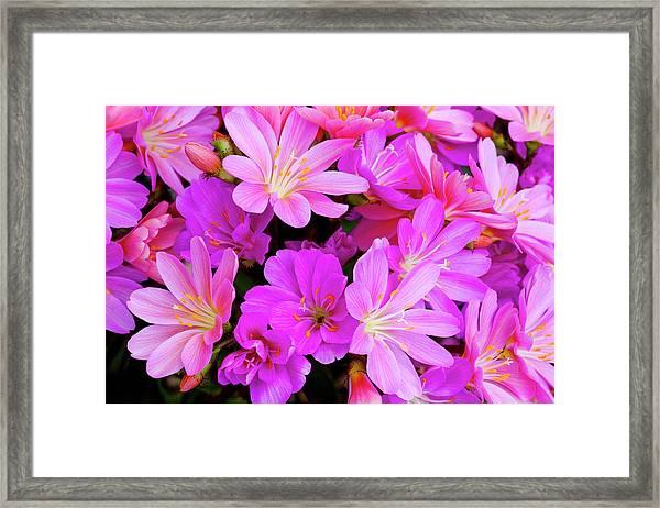 Usa, Oregon Columbian Lewisia Flowers Framed Print by Jaynes Gallery
