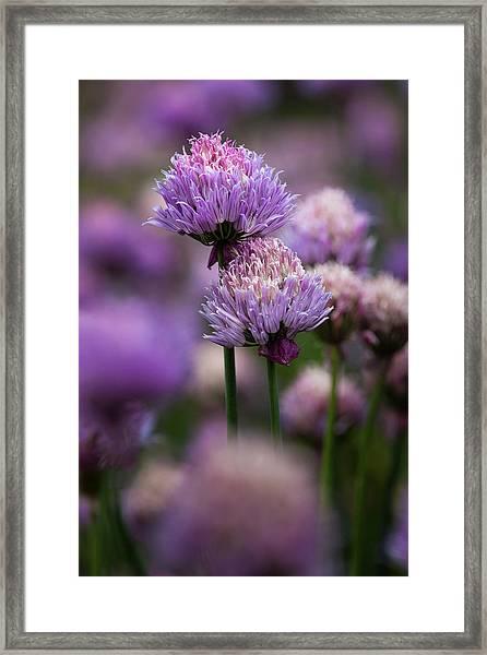 Usa, Oregon, Keizer, Chives Framed Print