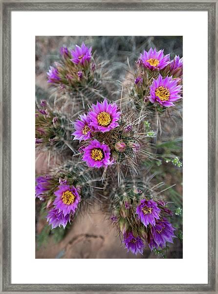 Usa, Utah Whipples Fishook Cactus Framed Print