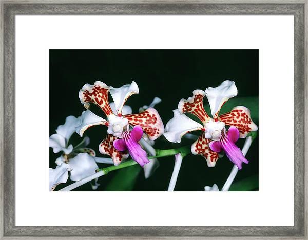 Vanda Tricolor. Framed Print