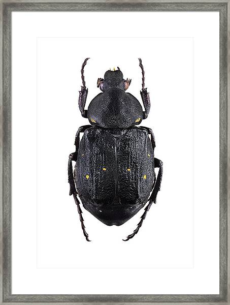 Variable Chafer Framed Print by F. Martinez Clavel