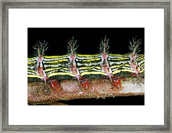 Venomous Spines On A Caterpillar Framed Print
