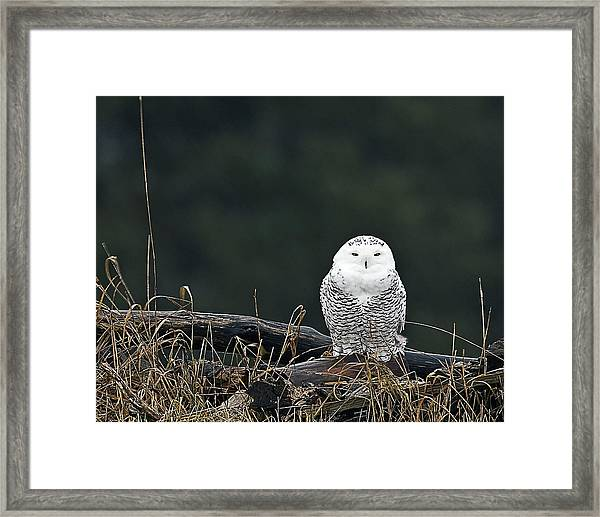 Vermont Snowy Owl Framed Print