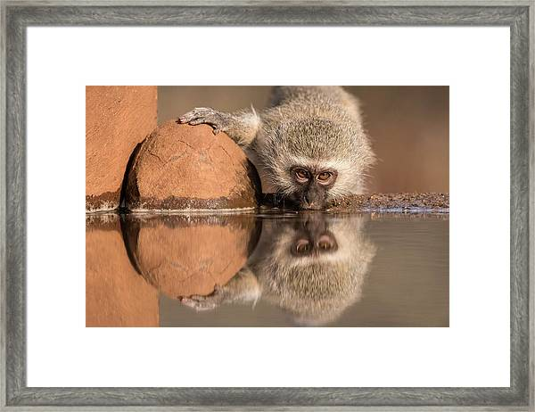 Vervet Monkey Drinking At A Watering Hole Framed Print