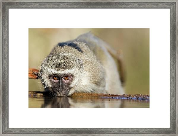 Vervet Monkey Drinking From A Waterhole Framed Print