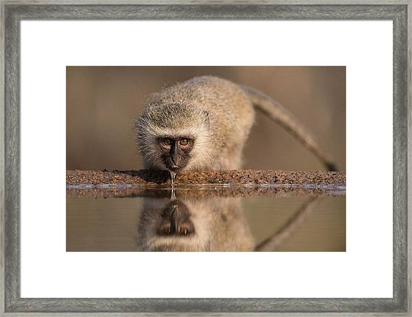 Vervet Monkey Drinking Framed Print
