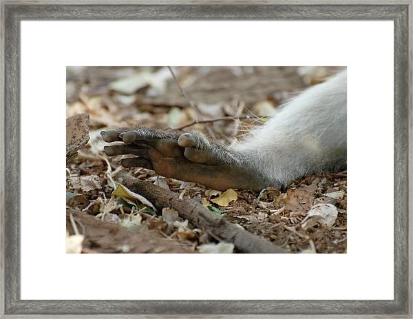 Vervet Monkey Hind Foot Framed Print