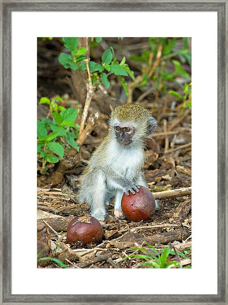 Vervet Monkey Holding A Seed Pod Framed Print