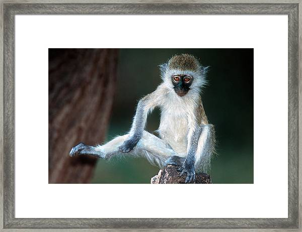 Vervet Monkey Kenya Africa Framed Print