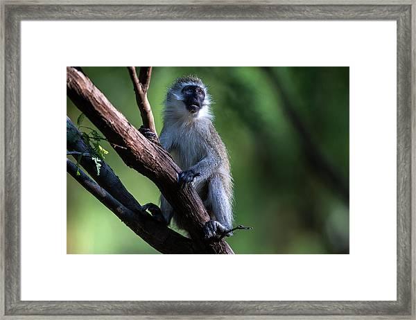 Vervet Monkey On Tree Framed Print