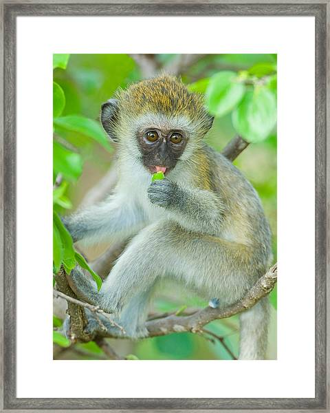 Vervet Monkey Sitting On A Branch Framed Print