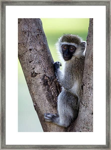 Vervet Monkey Sitting On A Tree Framed Print