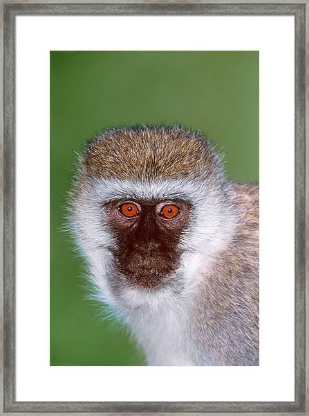 Vervet Monkey Tanzania Africa Framed Print