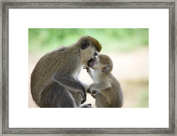 Vervet Monkey,chlorocebus Pygerythrus Framed Print