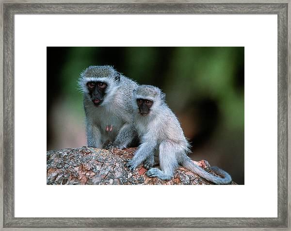 Vervet Monkeys Framed Print