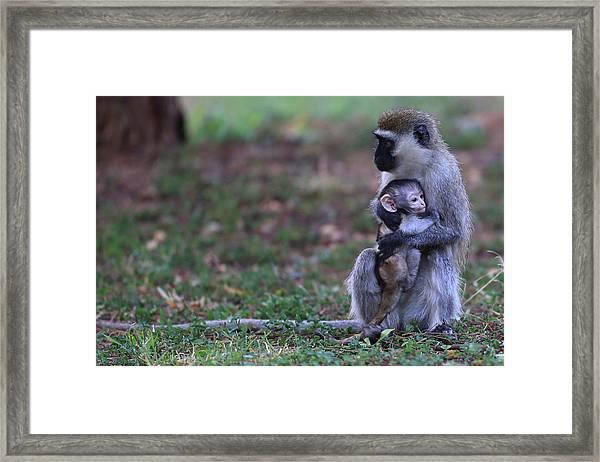 Vervet Mother With Baby Framed Print