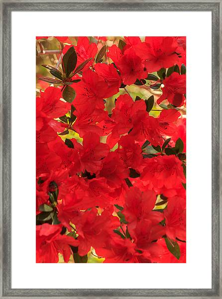 Vibrant Azalea Framed Print