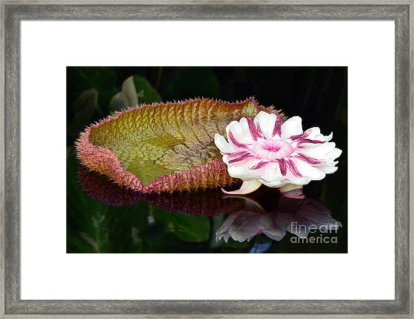 Victoria Amazonica Framed Print