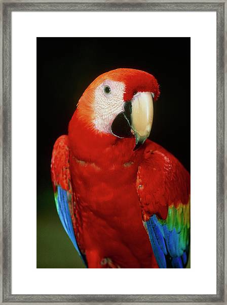 View Of A Scarlet Macaw (ara Macao) Framed Print