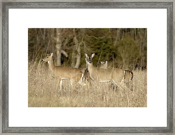 Vigilant White-tailed Deer Framed Print