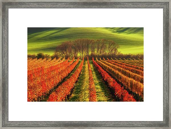 Vine-growing Framed Print