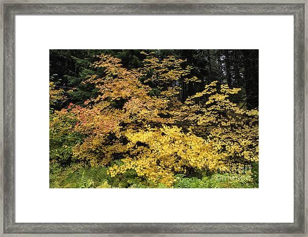 Vine Maple Glory Framed Print