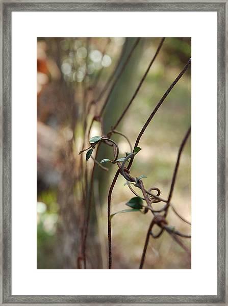 Vine On Rusted Fence Framed Print