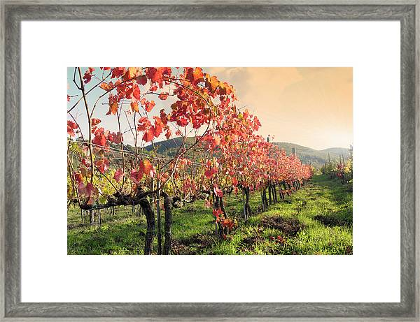 Vineyard In Fall Framed Print