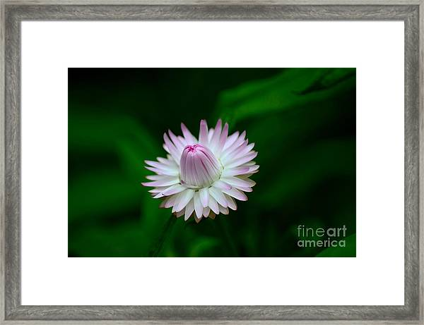 Violet And White Flower Sepals And Bud Framed Print