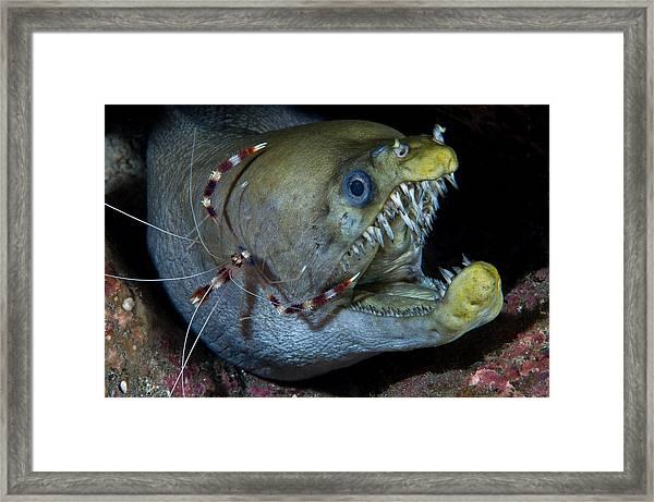 Viper Moray And Boxer Shrimp Framed Print by C?dric P?neau