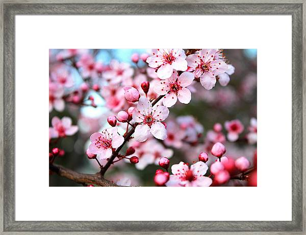 Virginia Cherry Blossom Framed Print
