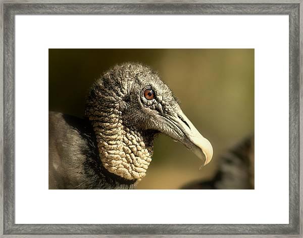 vulture II Framed Print