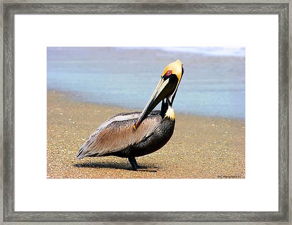 Wadding Pelican  Framed Print