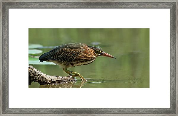 Wading Into The Unknown Framed Print