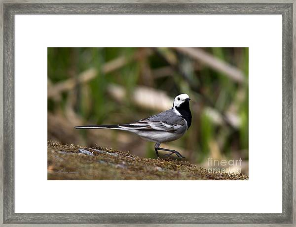 Wagtail's Step Framed Print
