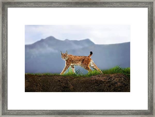 Walking Lynx Framed Print
