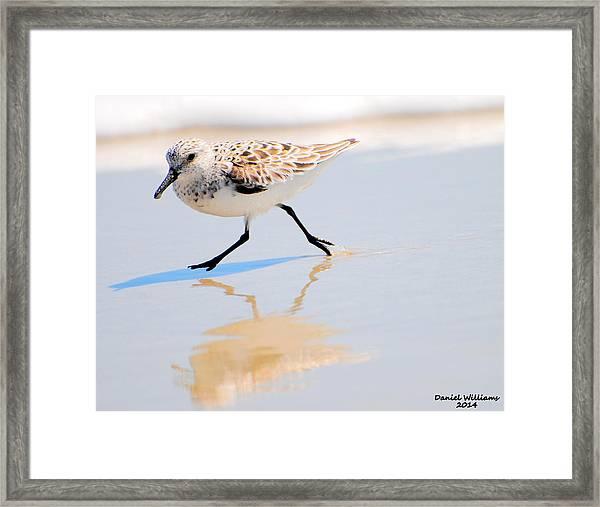 Walking Shorebird  Framed Print