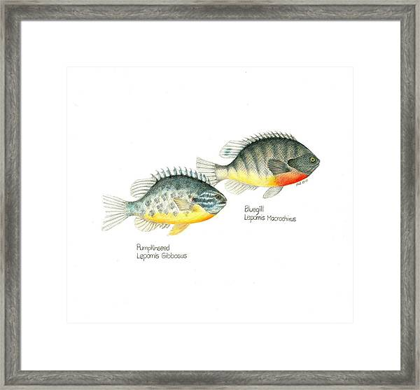 Wallace Brantley Fishing Series Bluegill And Pumpkinseed Framed Print