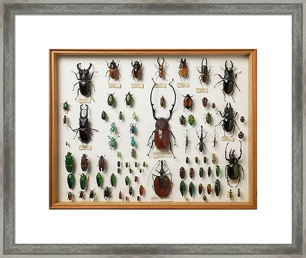 Wallace Collection Beetle Specimens Framed Print by Natural History Museum, London/science Photo Library