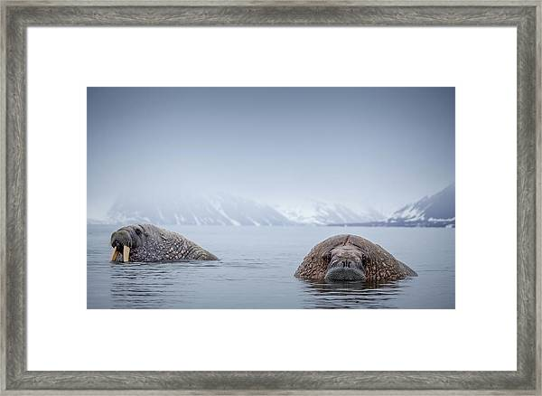 Walrus In Natural Arctic Habitat Framed Print