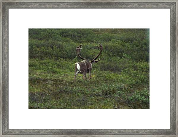 Framed Print featuring the photograph Wandering Caribou by Barbara Von Pagel