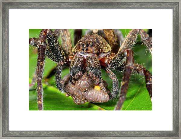 Wandering Spider Feeding Framed Print by Dr Morley Read