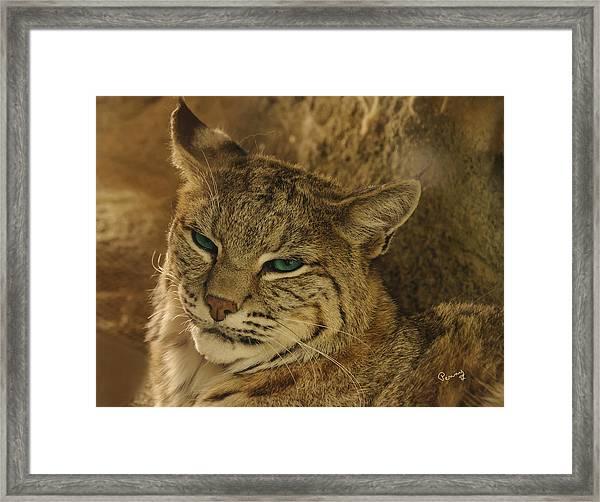 Wary Bobcat Framed Print