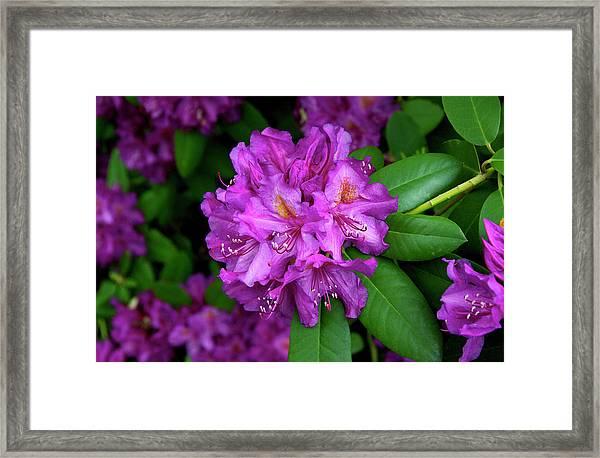 Washington Coastal Rhododendron Framed Print