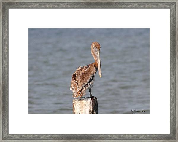 Watchful Pelican Framed Print