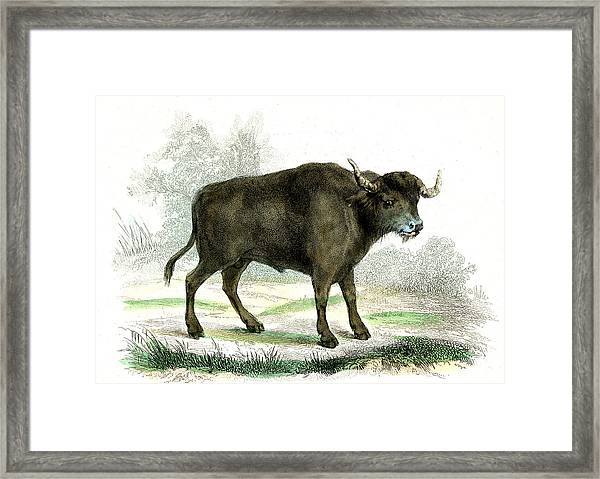 Water Buffalo Framed Print by Collection Abecasis