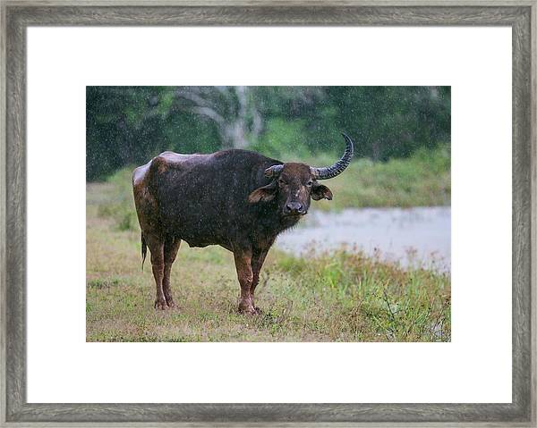 Water Buffalo Framed Print by Peter J. Raymond