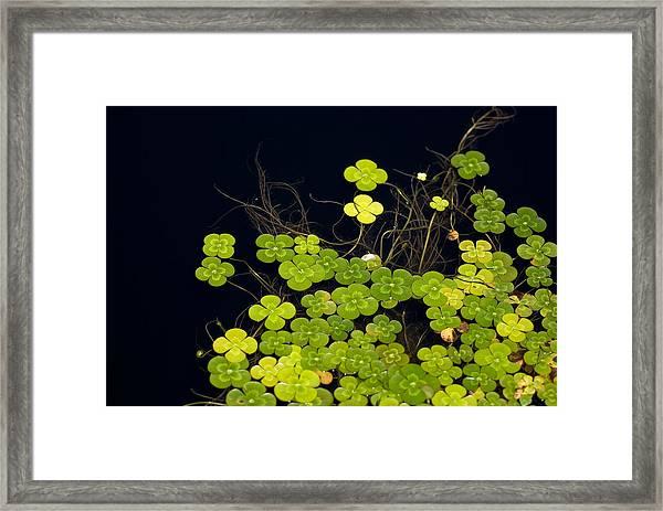 Water Clover Framed Print