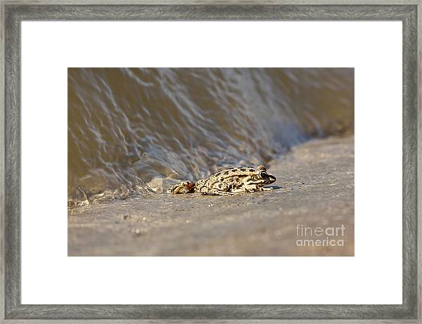Water Frog Close Up  Framed Print